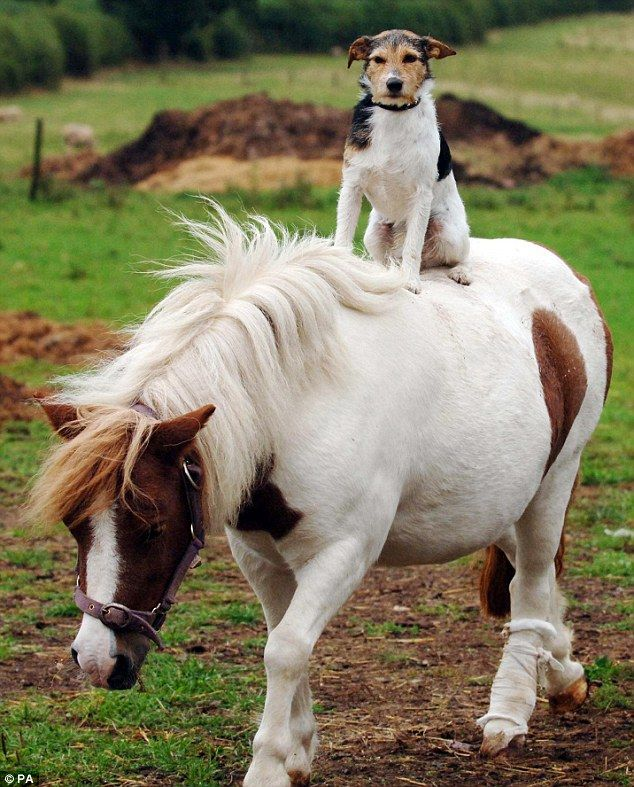 A Jack Russell called Freddie hitches a ride on the back of Daisy the Shetland pony in Flaxley, Gloucester