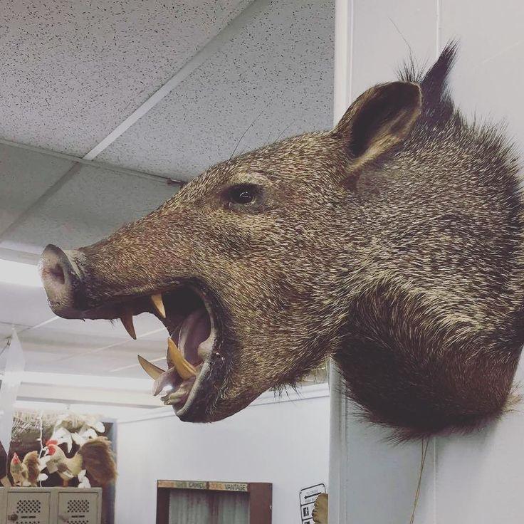 #hunting #abilenetx #abilene #texas #hog #rustandrosesabilenetx #shoplocalabilenetx