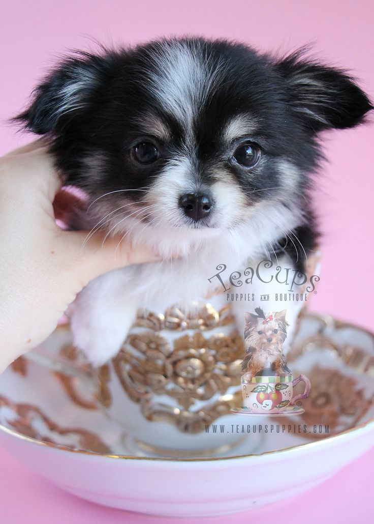 Long haired chihuahua for sale by teacups puppies