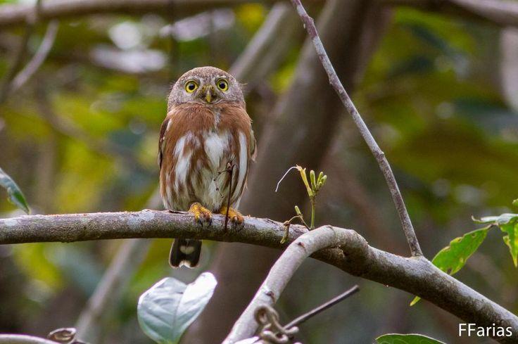 Glaucidium minutissimum(Least Pygmy-owl)Крошечный воробьиный сыч