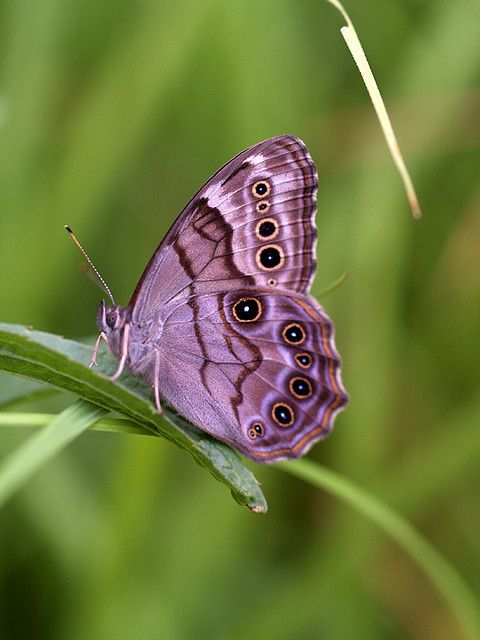 ~~Northern Pearly Eye ~ Butterfly by bobj03054~~