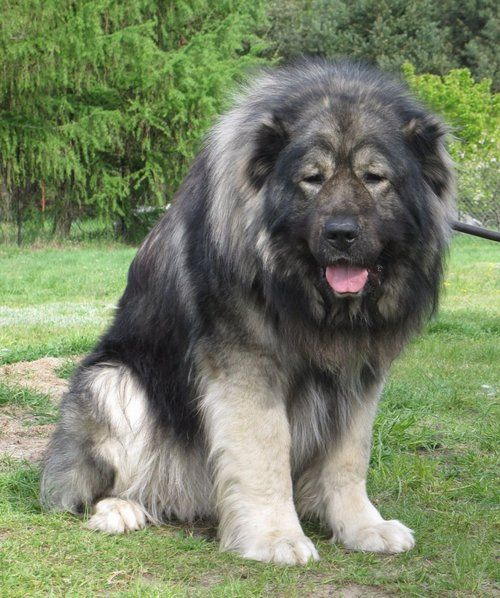 Caucasian Ovcharka  aka Caucasian Mountain Shepherds aka Mini Russian Bears 200 pounds of Bear hunting cuteness