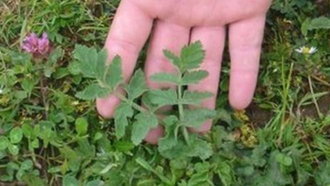 Wild parsnip: Carmarthenshire park warning over dangers - BBC News