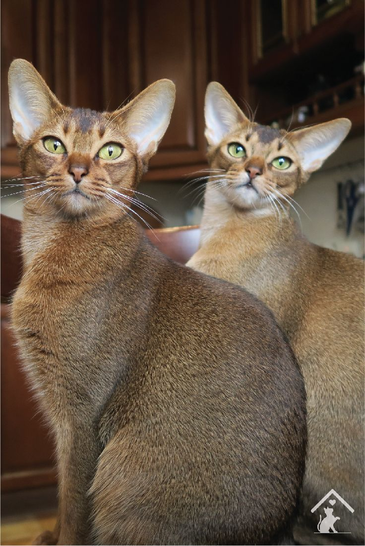 656 best Abyssinian cats images on Pinterest | Abyssinian kittens ...