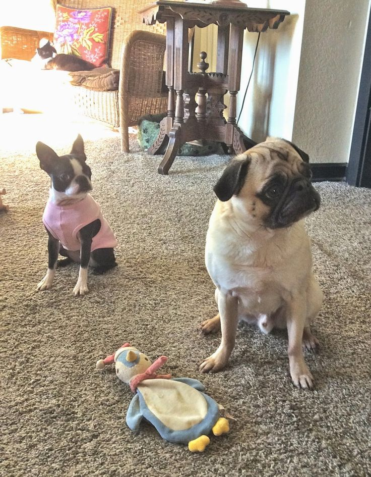 Welcome to the menagerie: Liam demonstrates the pug temperament with photos