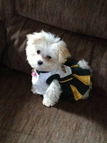 Admirable 1000 Images About Maltipoo Dogs On Pinterest Short Hairstyles For Black Women Fulllsitofus