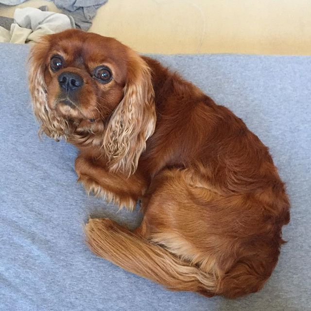 Friday💥🎉#dog #dog #puppy #pup #cute #eyes #instagood #pet #pets #animal #animals #instagramdogs #nature #dogstagram #dogoftheday #lovedogs #lovepuppies #adorable #doglover #instapuppy #instadog #cavalier #cavlife #cavalierkingcharlesspaniel #cavalierkingcharles #cavalierking #followers #photooftheday #cute #eyes #follow #like