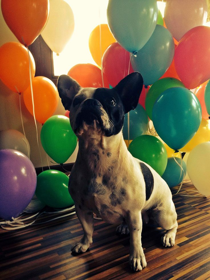 FRENCH BULLDOG BALLOONS PARTY DOG