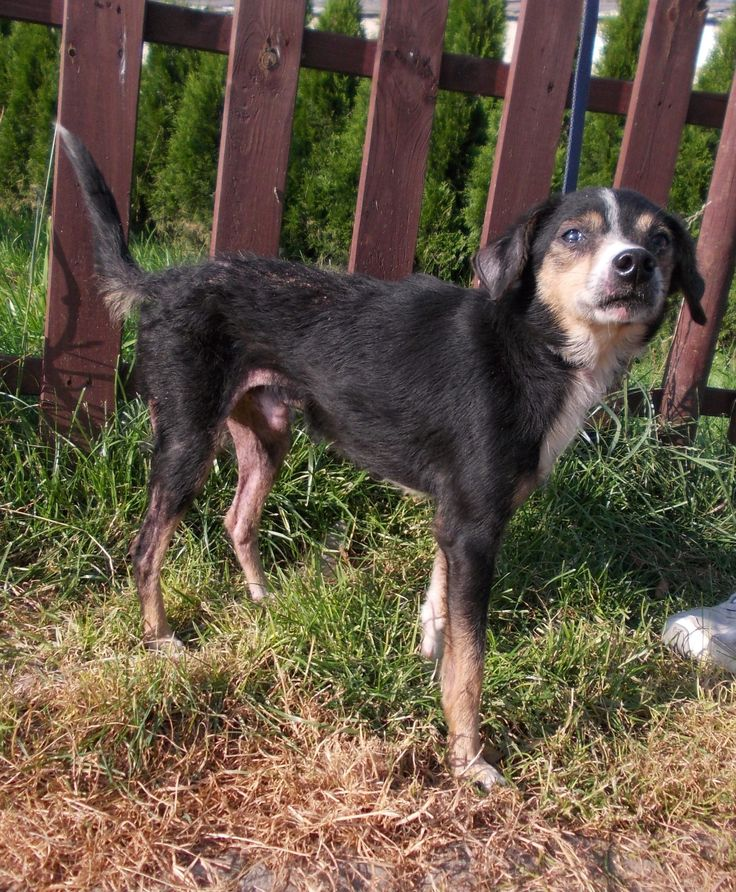 """Alvin - kolejna ofiara człowieka. Chcemy ustalić """"właściciela""""... #psy #adopcje #schronisko #polska #okrucienstwo #dogs #adopt #shelter #poland #cruelty"""