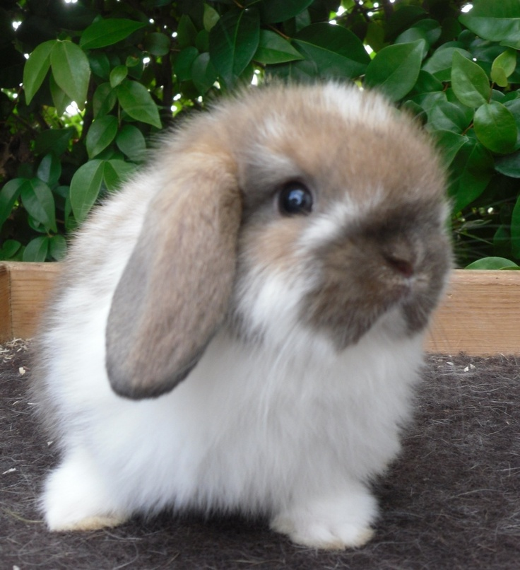 Image detail for -holland lop rabbits for sale