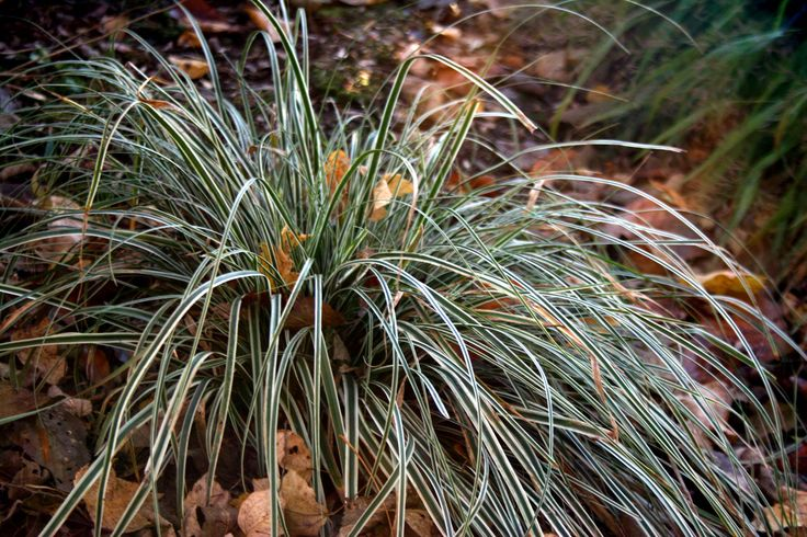 This week's plant pick is a grassy perennial that has showy, arching white and green striped foliage that's also evergreen in winter. It's called sedge EverColor Everest.