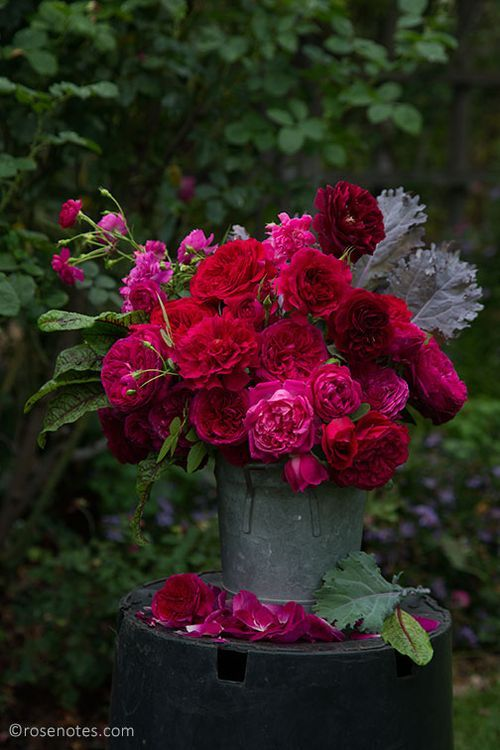 Red-david-austin-roses: Four David Austin red roses were all blooming at the same time: LD Braithwaite, Othello, The Prince and Tradescant (darkest)