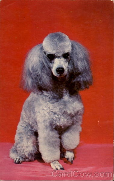 French Poodle Dogs