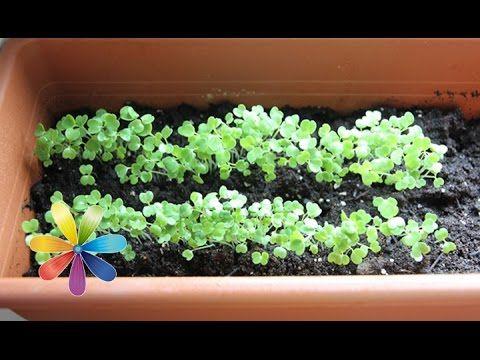 Как вырастить на своем подоконнике настоящую витаминную бомбу из рукколы, мяты и розмарина. Что необходимо для выращивания экологически чистой зелени в домашних условиях?↓ Больше полезного ниже! ↓