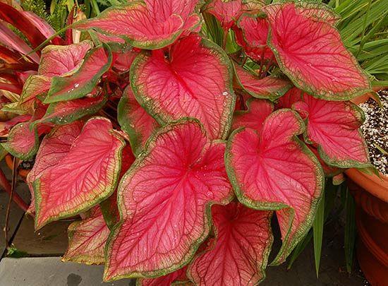 Каладиум двухцветный Florida Sweetheart (источник Википедия)