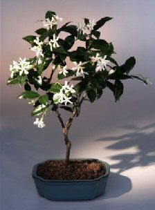 Flowering & Fruiting Trees-Flowering White Jasmine(trachelospermum jasminoides)-oxemegifts.com – Oxeme Gifts