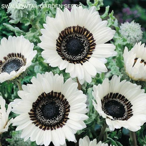 White Cape Daisy annual flower - Creamy white blooms marked black and bronze - Summer and fall blooming - Excellent cut flowers. They are tough, easy to grow 2 foot tall annual that blooms all summer and fall. The large, white, 3-4 inch flowers are creamy white with black and bronze markings in the center.