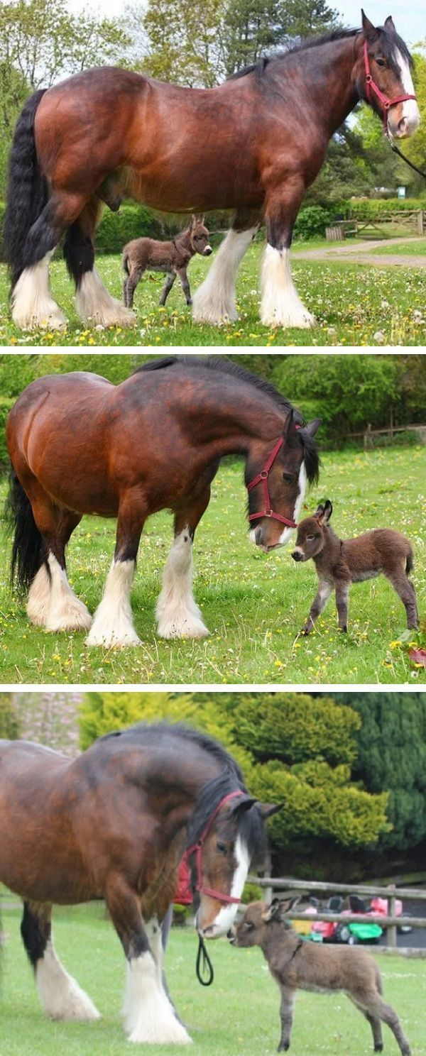 15 Photos and Information About the Shire Horse