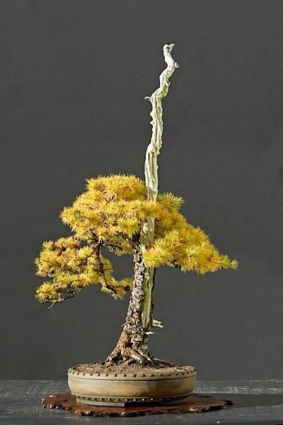 66 best bonsai literati bunjingi images on pinterest for Literati bonsai gallery
