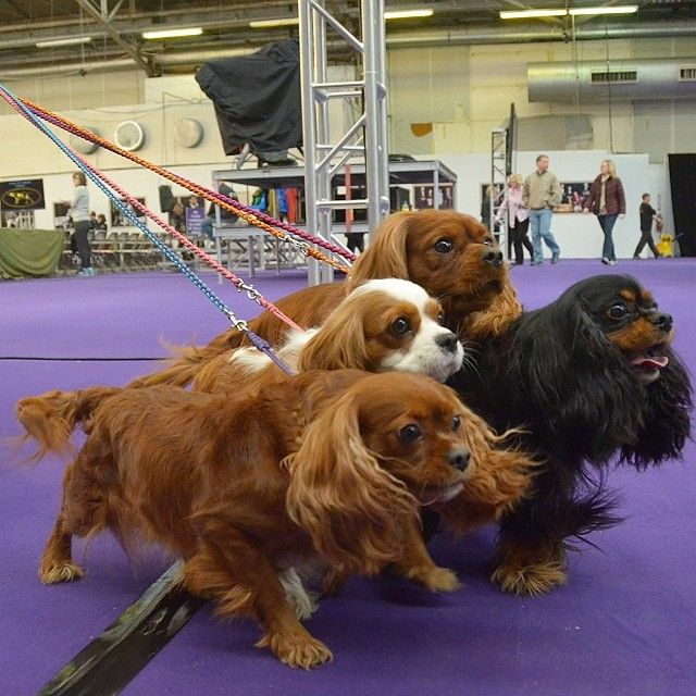 Westminister Dog Show Agility Competition