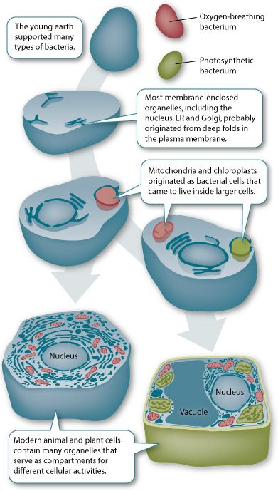 Mitochondria and chloroplasts, organelles which synthesize energy in cells, were once single celled organisms.  These cells were engulfed by larger ones and eventually they could no longer live on their own.  The is called the endosymbiotic theory.  Click the link for more information!