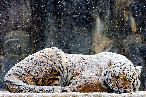 snow.  tiger.