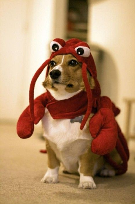 rock lobstah. yaaaay!! i love corgi's!! nigel needs a costume like this!!