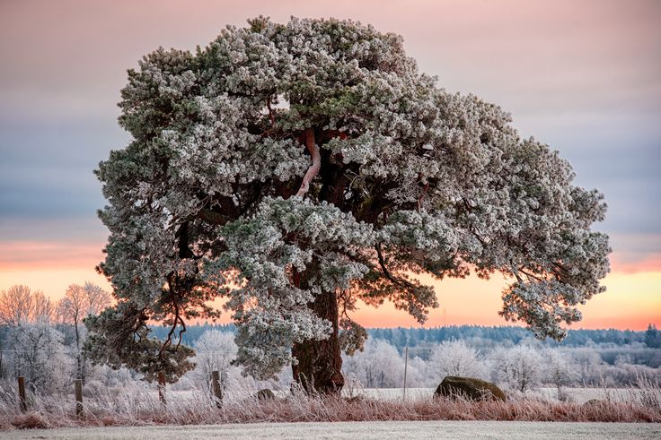Frozen Mänd - There is a pine in Estonia that I like to visit from time to time. The tree is around 300 years old. It's in good condition and the it has a beautiful crown. This was there when we were born and probably will be there when we die.   Makes me think about what we leave behind.