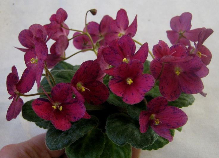 Red Flowering House Plants 256 best фиалки images on pinterest | african violet, saintpaulia