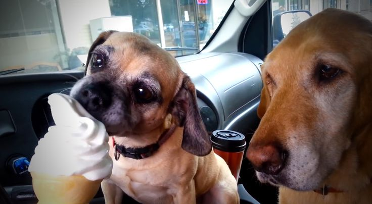 A két kutyus hihetetlenül reagál a világ legfinomabb édességére! Szerinted hány perc alatt tüntetik el