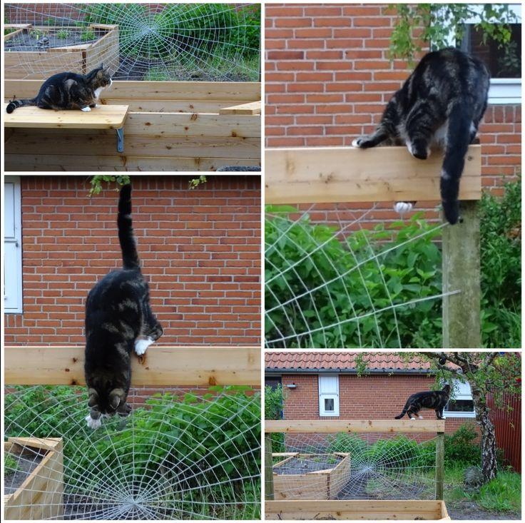Dexter spidercat