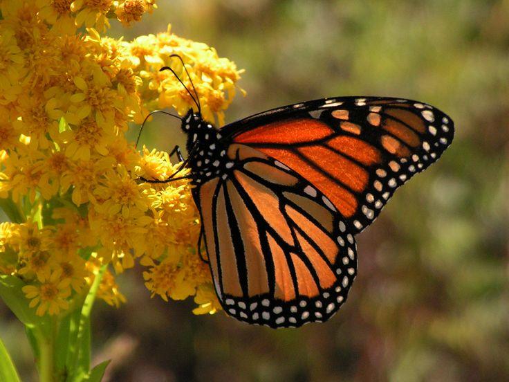 Ms de 25 ideas increbles sobre Mariposa monarca en Pinterest