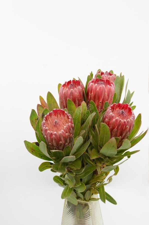 Red Protea Flower Bunch On A White Isolated Background Stock Photo Image Of Design Bouquet 124984112 Background Bou In 2020 Protea Flower Bunch Of Flowers Flowers