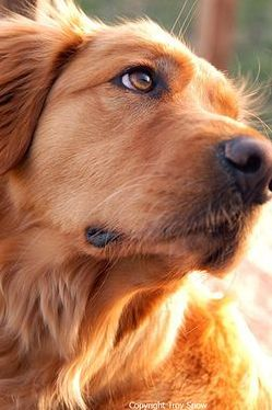 Beautiful #Golden #Retriever