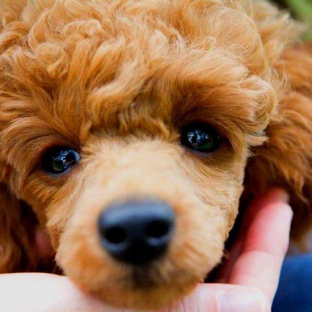 Red Miniature Poodle... Oh how I want one!