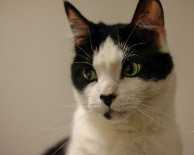 Gordy side-eyes Dexter from afar #cute #cat #gordy #isdonewithhisshit