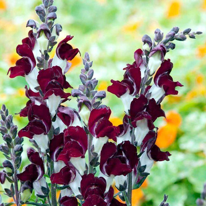 """Unik färgkombinationTall spikar som omfattas i rika, mörka crimson blommor varje kontrasteras av en tydlig vit bas. Perfekt som ett centralt inslag i prydnads bäddar, eller på baksidan av gränsen. . Höjd 45cm (18 """") HHP - Half-hardy perenna (bäst odlas som en HHA - Half-hardy årliga).      Höga stjälkar täckt i mörka crimson / vita blommor     Lägger höjd på baksidan av gränserGenomsnittlig Växande Längd: 41-50cm [31,00kr]"""
