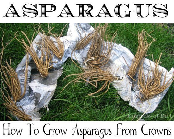 How to grow asparagus from crowns - remember to order them in the winter for spring planting