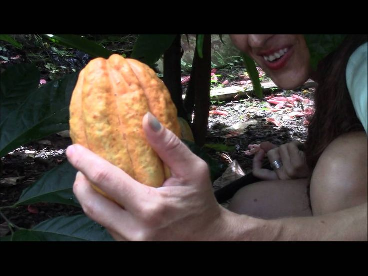 Cutting and Processing Cacao Beans Part 1