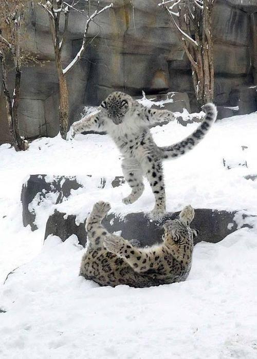 snow leopard pouncer :)