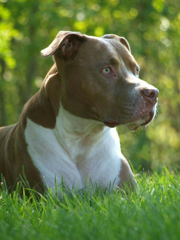misconceptions about pit bull terriers Myths and misconceptions from pit bull opponents  american pit bull terriers are still more commonly  (myths and misconceptions from both pit bull advocates.