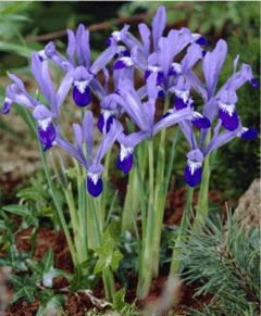 "IRIS RETICULATA CLAIRETTE - sky-blue standards and dark purple-blue falls with white tiger marks. Bulb size: 6 cm/up. Early April. 4"". HZ: 5-9."