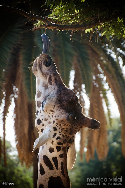 "Awww... Giraffe reaching up for a snack! ""Luckily I've got a long neck!"" LOL <3 The long tongue helps too eh?"