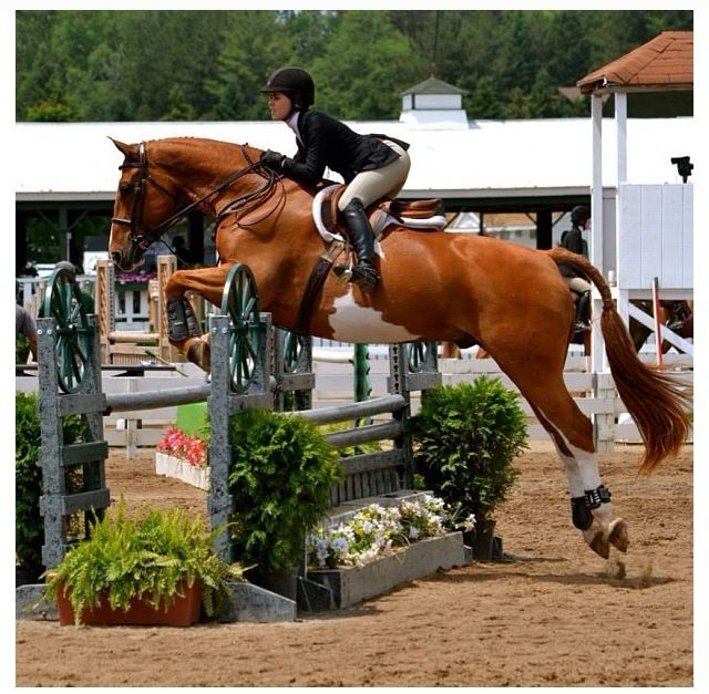I love to see Hunter/jumper paints, its not as common to see, reminds me of what my boy and i are working towards :)