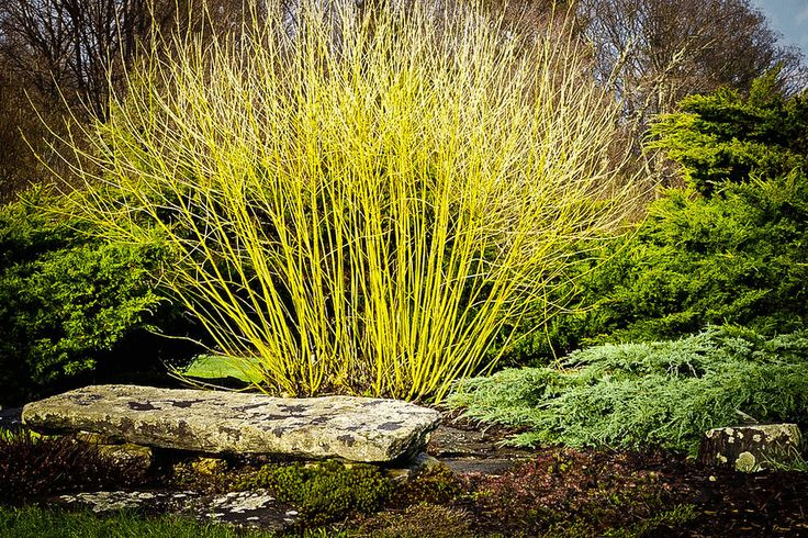Yellow Twig Dogwood  Shrub Landscape  Bush - Bright Yellow twigs In winter | Home & Garden, Yard, Garden & Outdoor Living, Plants, Seeds & Bulbs | eBay!