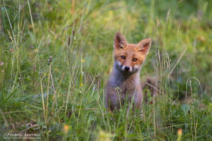 Fox Cub (I wish I had a F2.8 ^^) by Frederic Ansermoz on 500px