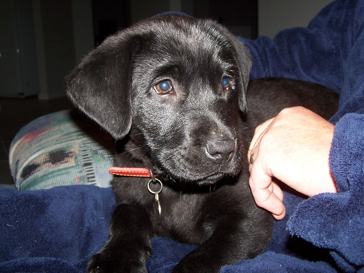 Shadow at 8 1/2 weeks old, she is a Black Labrador and a beautiful dog.