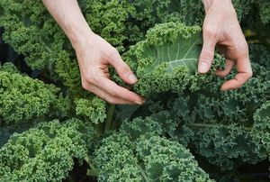 High Fiber Foods for Weight Loss: Kale is high in fiber.