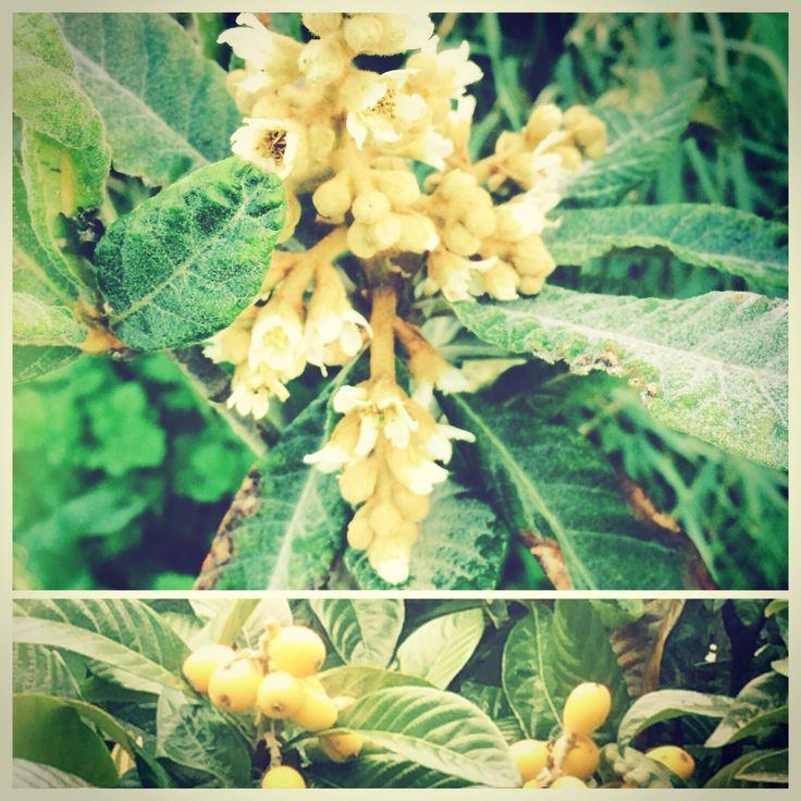 Het nieuwe #nispero boompje bloeit en nu is het afwachten of er vruchten aan komen.