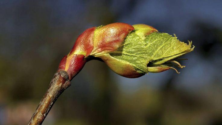 Bachblüte Chestnut bud oder Kastanienknospe